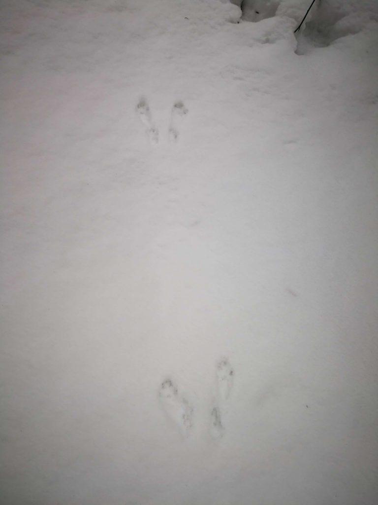 Stopa zajaca/králika v snehu